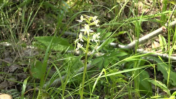 Thumbnail for Lesser Butterfly Orchid
