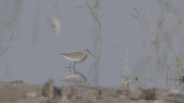 Wading Bird Feeding in a Pond