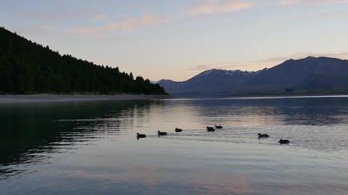 Eight mallard ducks swim to the same direction