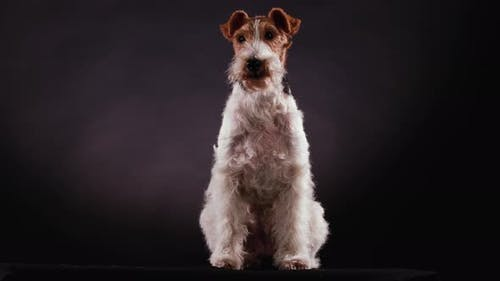 Front View of a Spotted Wirehaired Fox Terrier Sitting in the Studio Against a Gray Black Gradient