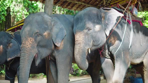 Asian elephants for riding tourists through the jungle. elephant farm