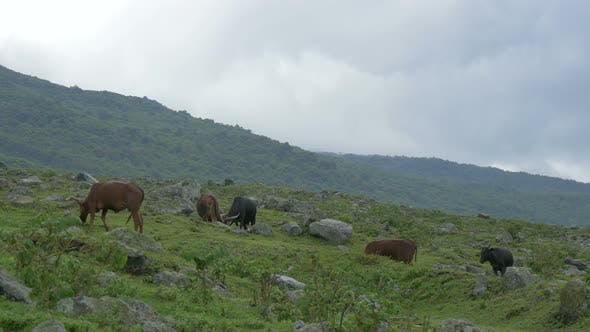 Thumbnail for Oxen grazing on a rocky field