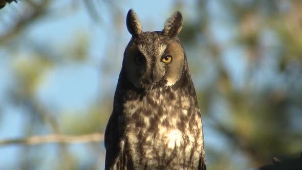 Thumbnail for Long-eared Owl Adult Lone Looking At Camera in Summer Blinking Eye Eyes