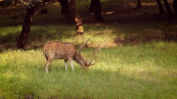 Chital or Cheetal, Also Known As Spotted Deer, Chital Deer, and Axis Deer