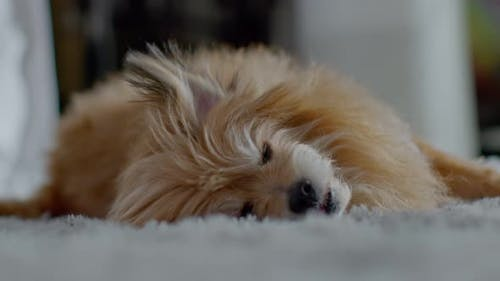 Happy Healthy Senior dog lying on carpet looking at camera relax and comfortable at cozy home