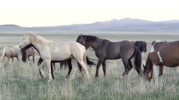 Three horses playing and kicking as they run through the grass