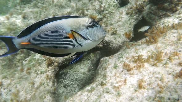 Thumbnail for Tropical Fish Sohal Surgeonfish Acanthurus Sohal