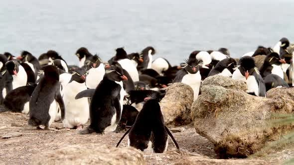 Rock Hopper Penguins Shot In The Falkland Islands