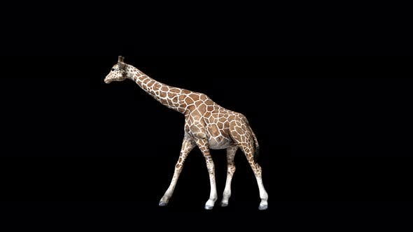 Thumbnail for 4K Giraffe Walk