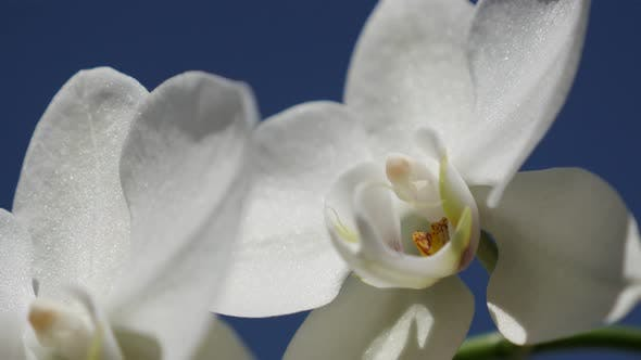 Thumbnail for Shallow DOF  moth orchid cultivated plant against blue sky 4K 2160p 30fps UltraHD footage -  Phalaen