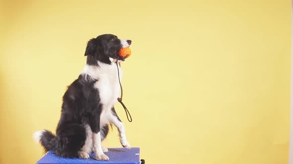 Thumbnail for Nice Dog Holding a Ball in Teeth While Resting on the Chair
