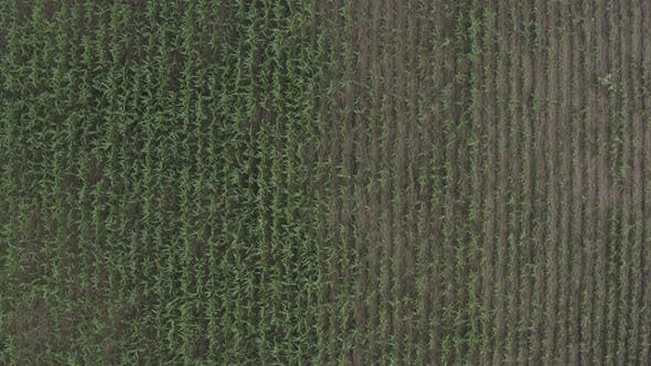 Thumbnail for Africa Mali Corn Field Aerial View