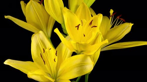 Time Lapse of Beautiful Yellow Lily Flower Blossoms