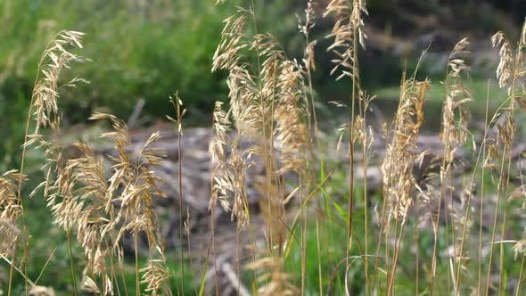 Thumbnail for Static view of grass blowing in breeze