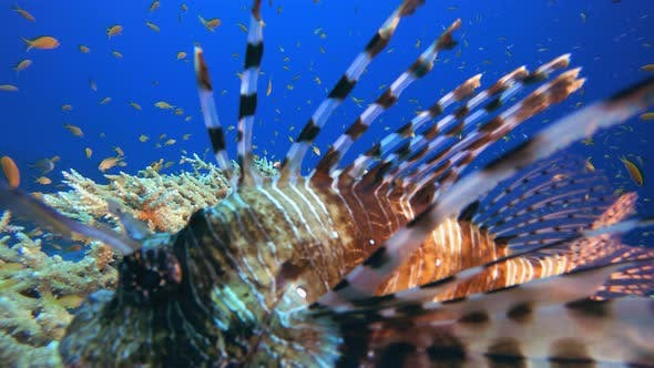 Cover Image for Underwater Lionfish
