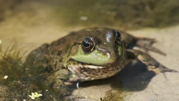 Green Frog Sits on the River Shore on Sand in Water. Portrait of Toad in Swamp