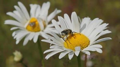 Bug on White Daisy Flower