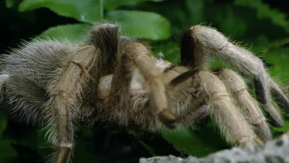 Thumbnail for Close up of an Arizona Blond Tarantula crawling over some leaves.