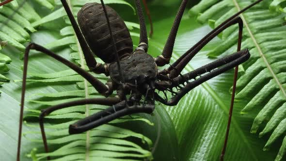 Thumbnail for Close up of a Batess Giant Whip spider on some leaves