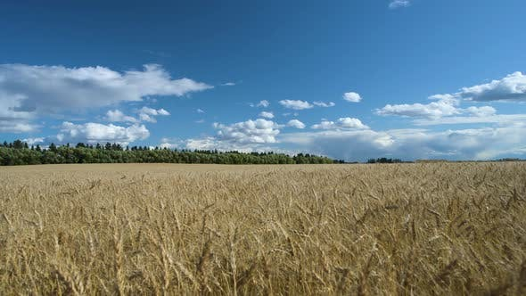Thumbnail for Wheat field on a windy day