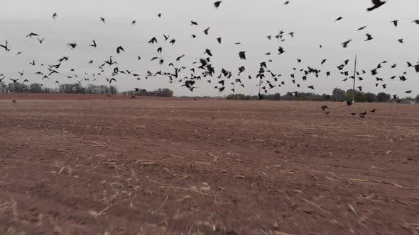 Thumbnail for Flock of Birds Taking Off