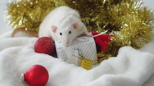 Thumbnail for White rat with New Year gifts