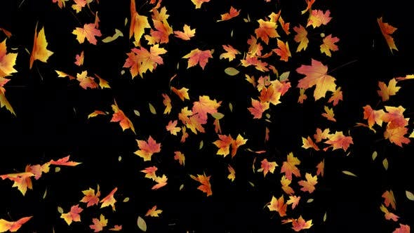 Thumbnail for Maple Leaves