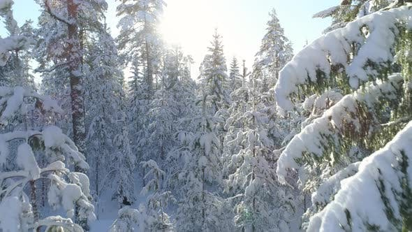 Thumbnail for Snow Covered Trees in Winter Forest Wonderland