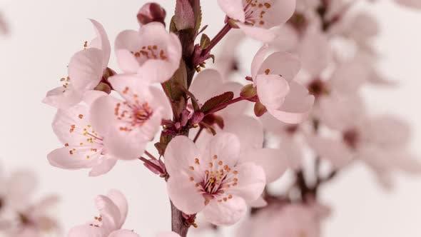 Thumbnail for Wild Plum Flower Blossom Dolly Timelapse