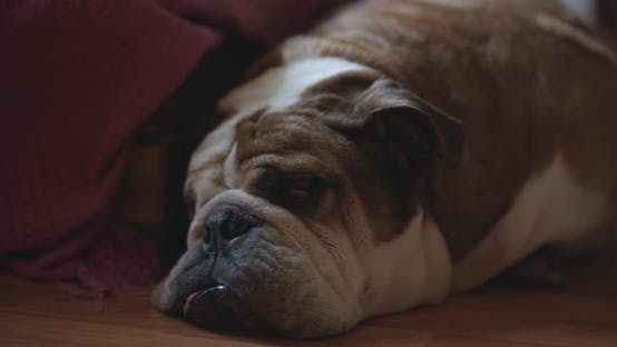 Cover Image for Tired English Bulldog Sleeping on the Floor
