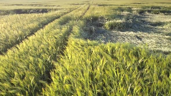 Thumbnail for Picturesque Wheat Field with Bent Stems By Ground Road