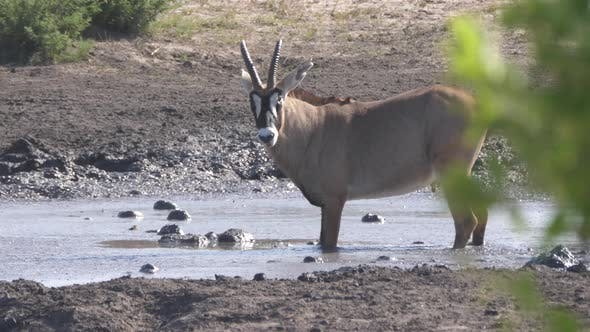 Cover Image for Roan Antelope drinking from a waterhole