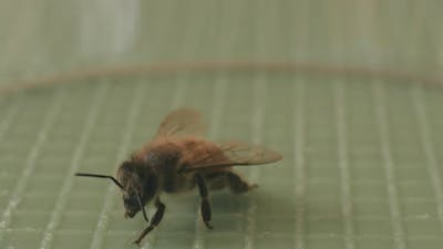 a bee cleaning its antennas