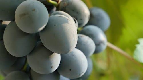 Tilting on  Vitaceae grape fruit family on woody vines tasty and healthy food 4K 2160p 30fps UltraHD