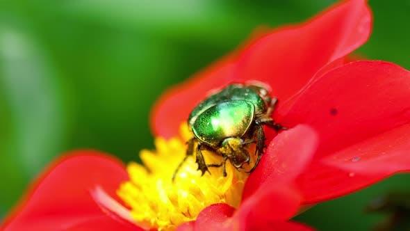 Thumbnail for Cetonia Aurata on the Red Dahlia Flower