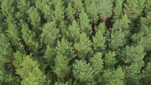 Thumbnail for Rotation Aerial Pine Forest Top View