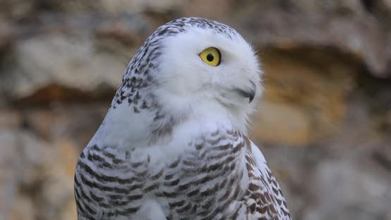 Thumbnail for Snowy Owl (Bubo Scandiacus) Is a Large, White Owl of the True Owl family.It Is Sometimes Also