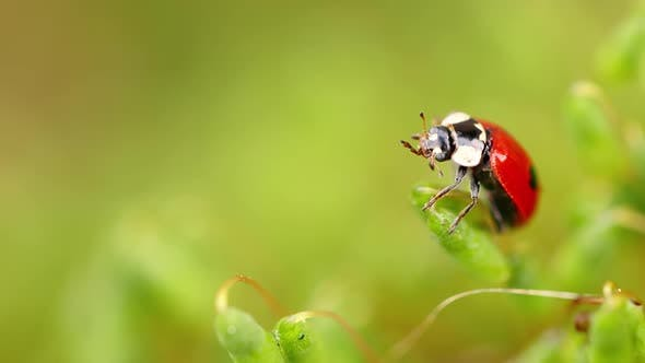 Close-up Wildlife of a Ladybug in the Green Grass in the Forest