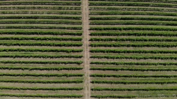 Thumbnail for Aerial View of Vineyard. Beautiful Rows and Landscape