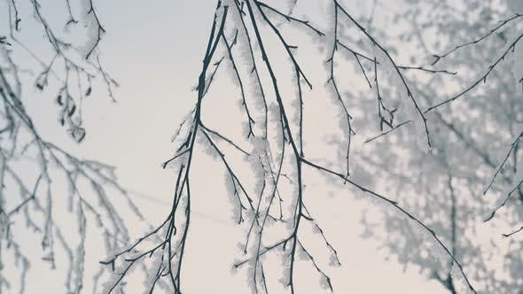 Thumbnail for Tree Thin Twigs Covered with Shining Frost in Winter Wood