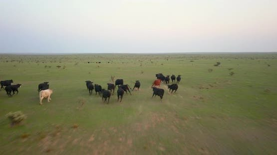 Aerial of herd of cattle running on the landscape