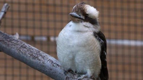 Kookaburra sitzt auf Stock in Gefangenschaft