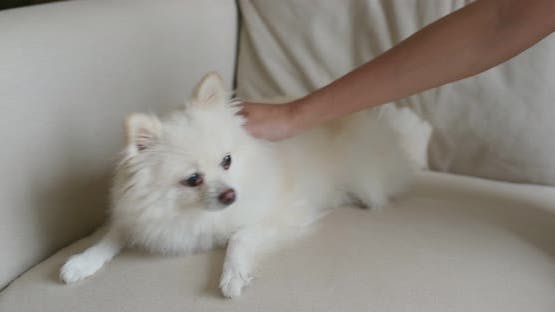 Pet owner cuddle on Pomeranian dog