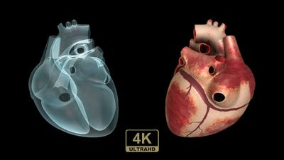 Real Heart And X-Ray Heart