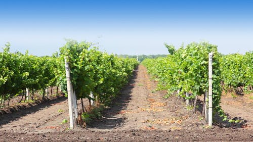 Rows of the Vineyard