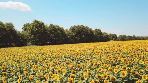 Aerial view of sunflower field. Aerial view flowering sunflowers