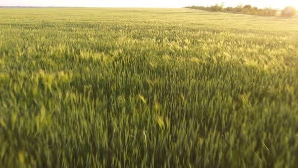 Thumbnail for Aerial of the Impressive Green Wheat Field From a Low Flying Drone in Summer