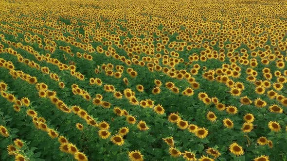 Thumbnail for Aerial View. Flowering Sunflowers. Natural Agriculture. Field Sunflowers