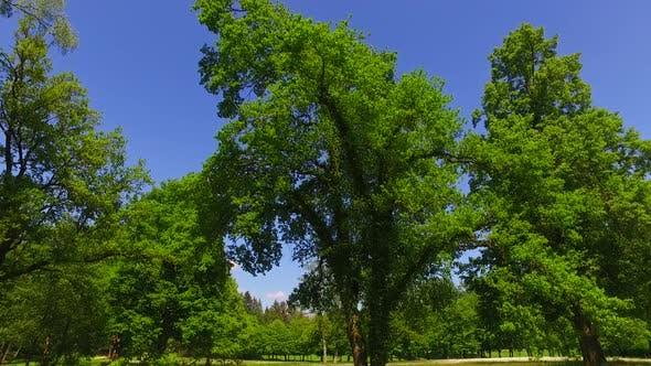 Park and Big Oak Trees