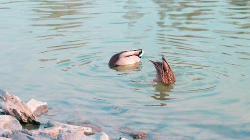 Female mallard duck and male mallard duck dabbling upside-down in the lake
